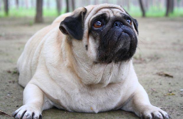 Hyperthyroidism In Dogs Dog Thyroid Problem Overweight Dog