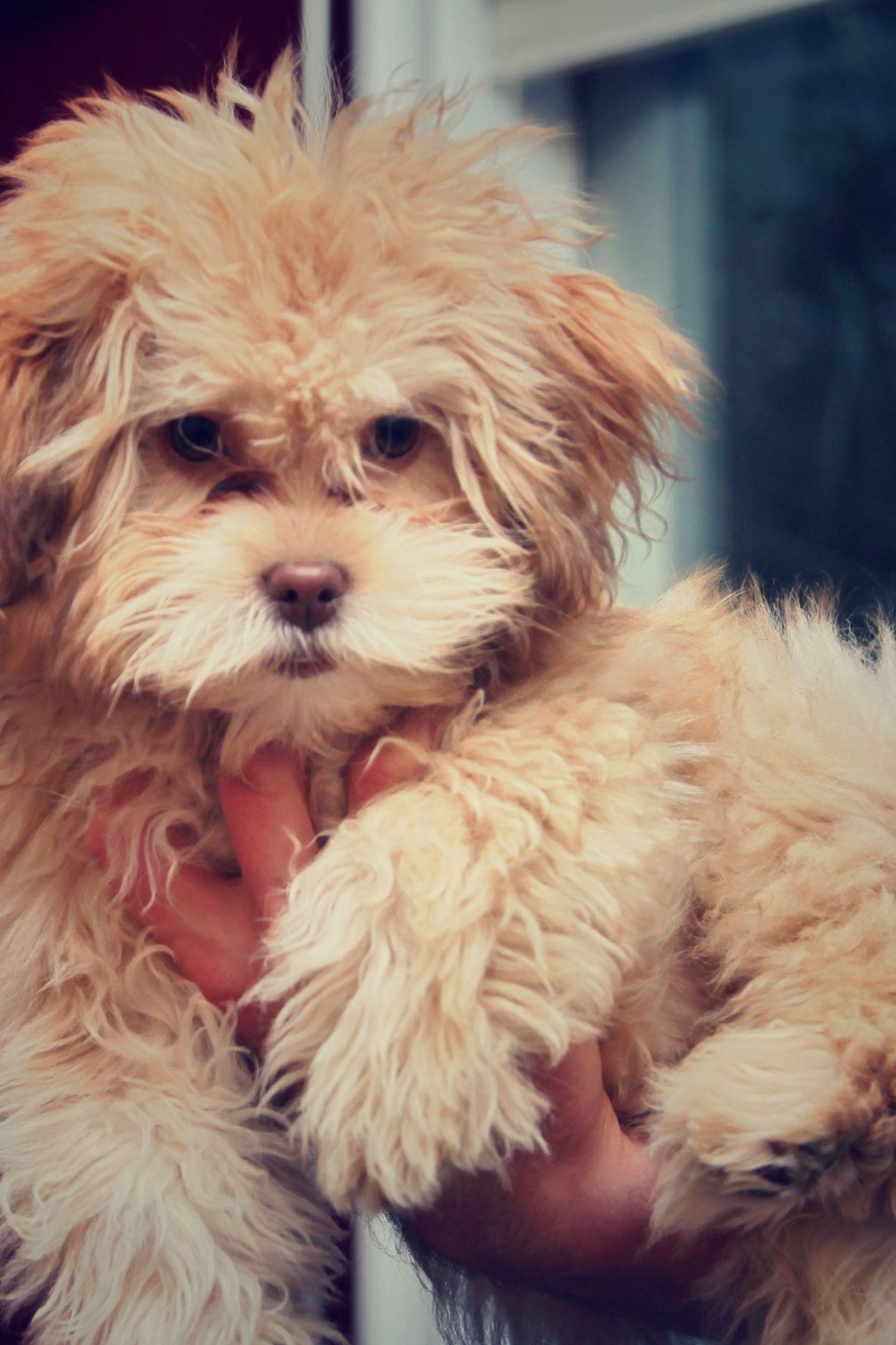 Yogi Shih Poo Pawshake Hund Und Katze Hunde Shih Poo