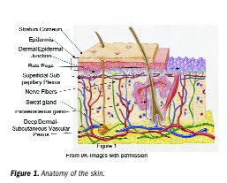 Discussion Of The Anatomy Of The Skin Includes Both The Dermis And The Epidermis See Figure 1 The Composition And Skin Structure Skin Structure And Function