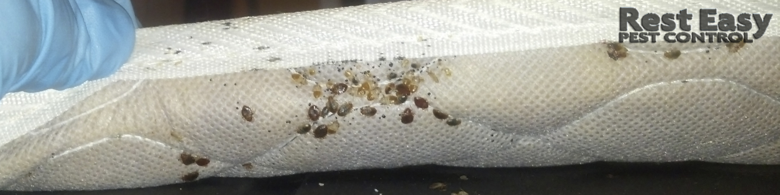 Signs of Bed bugs! Adult Bed Bugs, Bed Bugs Fecal staining