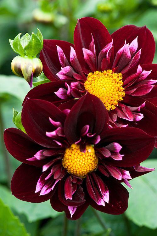 Dahlia Pat Knight Alan Buckingham Dahlia Flower Amazing Flowers Unusual Flowers