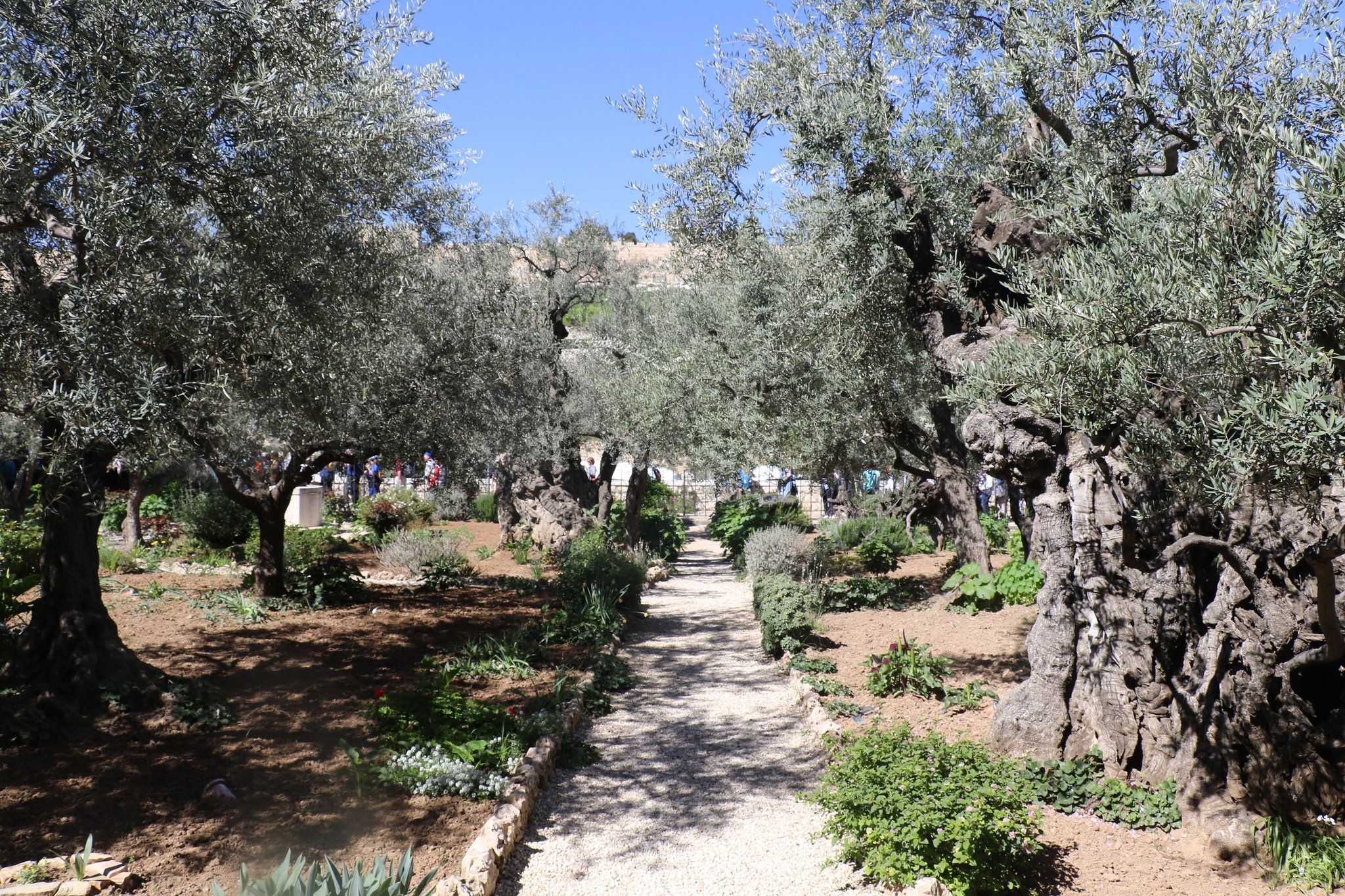 Garden of Gethsemane Garden of gethsemane, Garden, Olive
