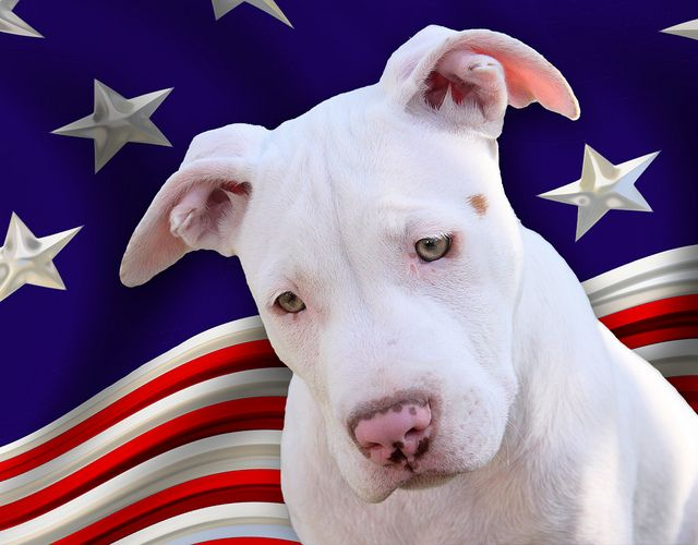 The All American Pet Dog The Bully Bully Love Dogs American
