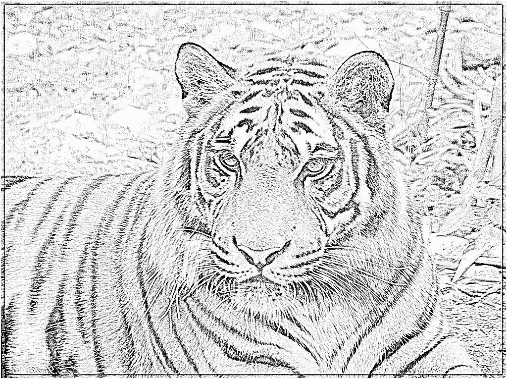 8 Pratique Coloriage Tigre A Imprimer Photograph Coloriage Tigre Coloriage Magique Coloriage
