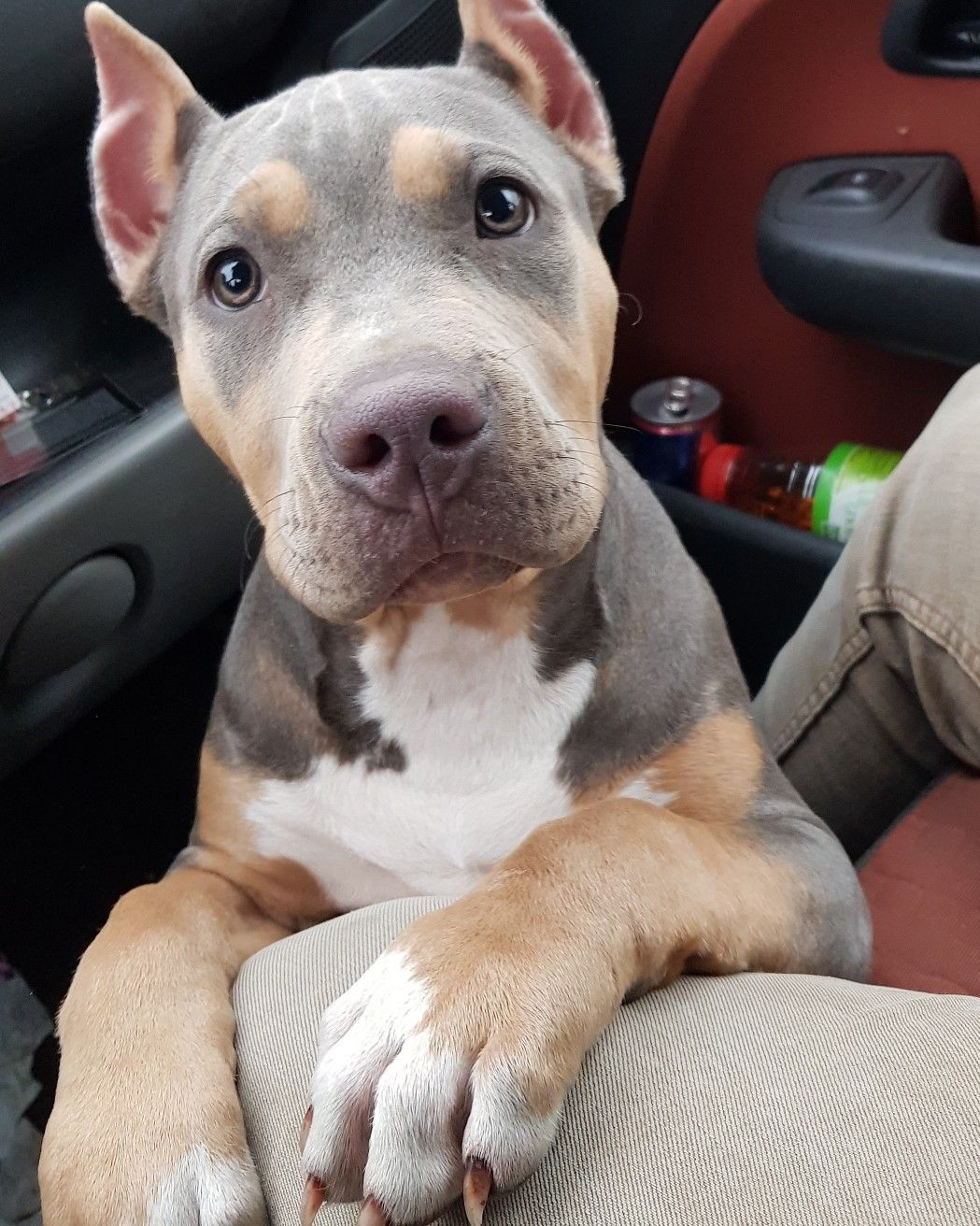Pitbull Chiot Puppy Puppies Pero Cane Blue Tricolor American Bully