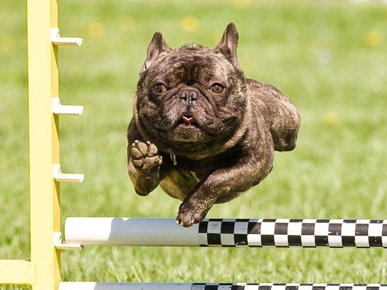 Athleticathletic20120929065944098 Jpg 554 415 With Images French Bulldog Bulldog Pics Dogs