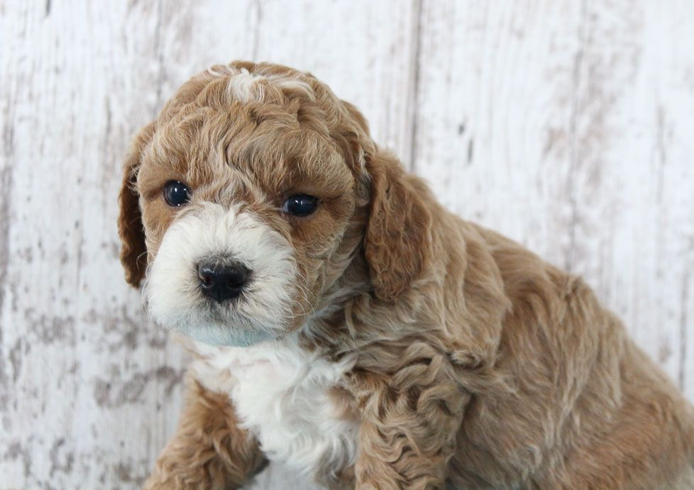Cale puppy finder puppies puppies for sale