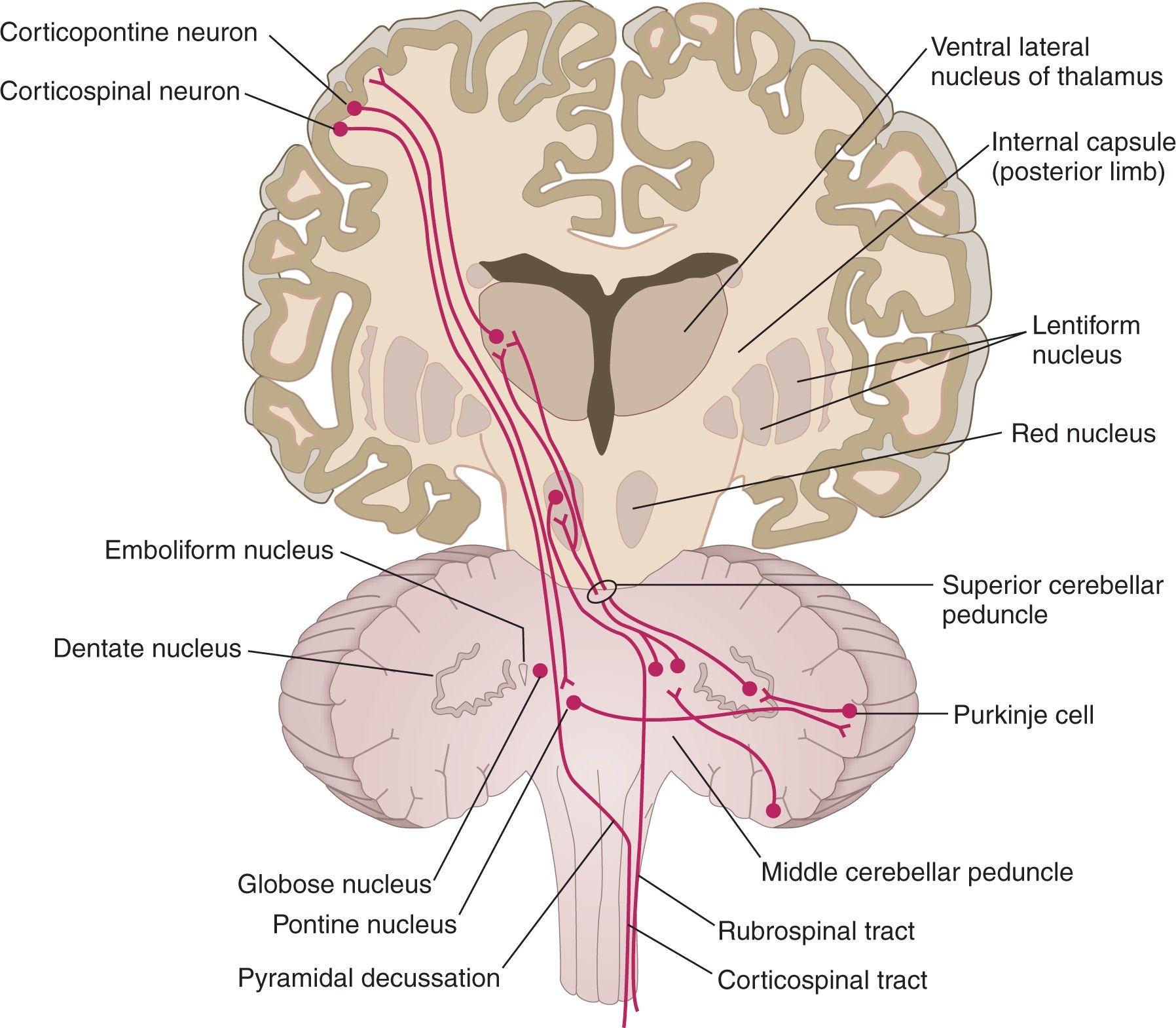 Cerebellar Pathways | Neuro | Pinterest | Brain, Medicine and Medical