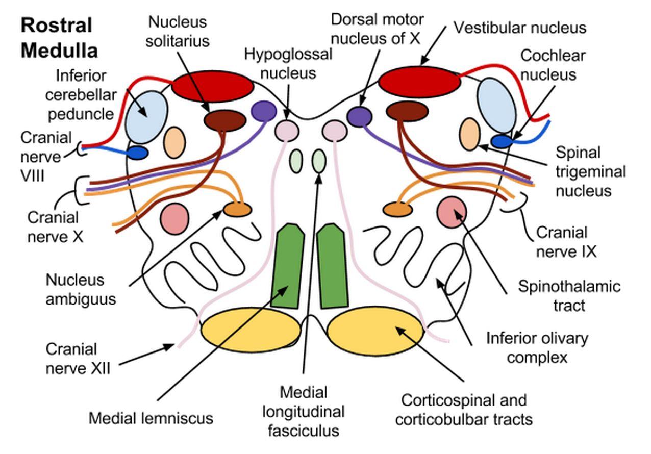 Neuro Cross Sections