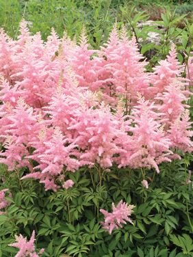 Astilbe japonica astilbe herbaceous perennial for Low maintenance perennials zone 4