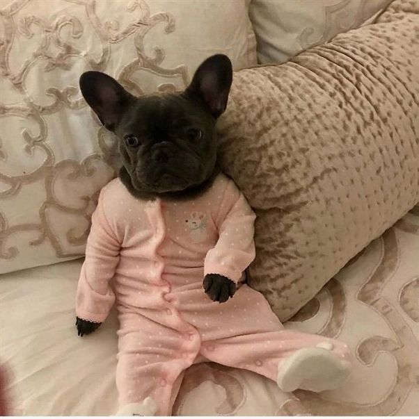 Well Trained Frenchie Dog Pictures Beautiful Animal Puppies