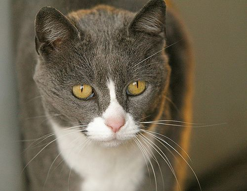Committed To Cats Pledge Animal Sheltering Online By The Humane Society Of The United States