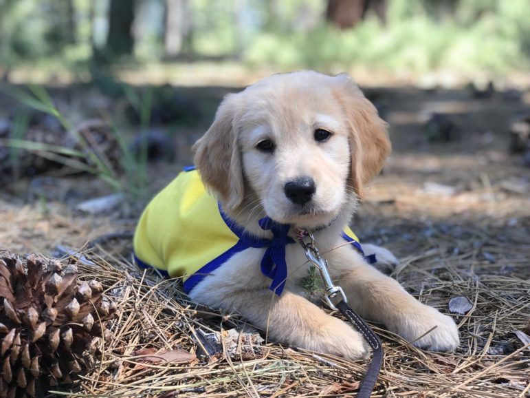 Zari Canine Companions For Independence Canine Assistance Dog
