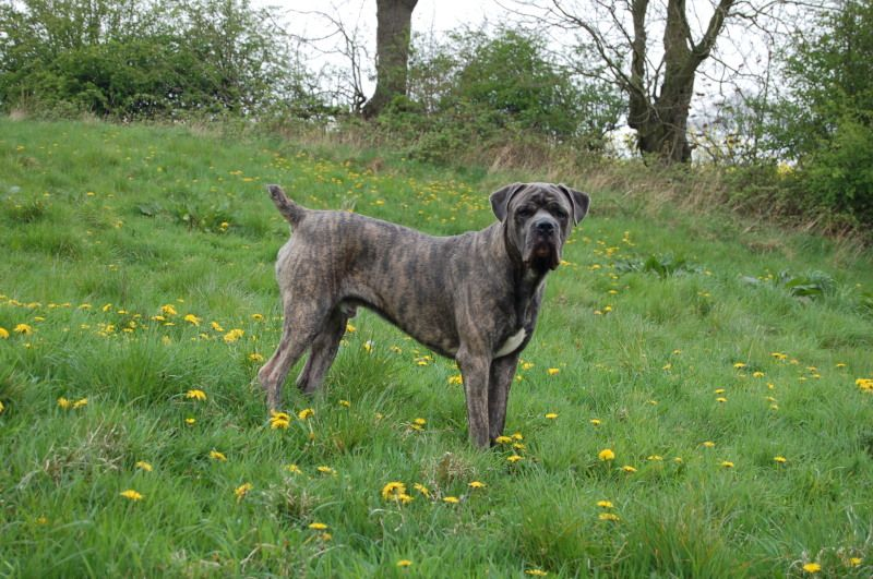 I Really Want A Female Blue Eyed Brindle Cane Corso Mastiff And