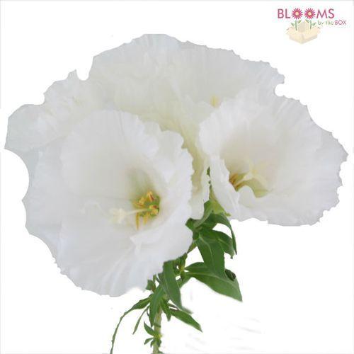 Godetia White White Wedding Flowers Wholesale Flowers White Flowers