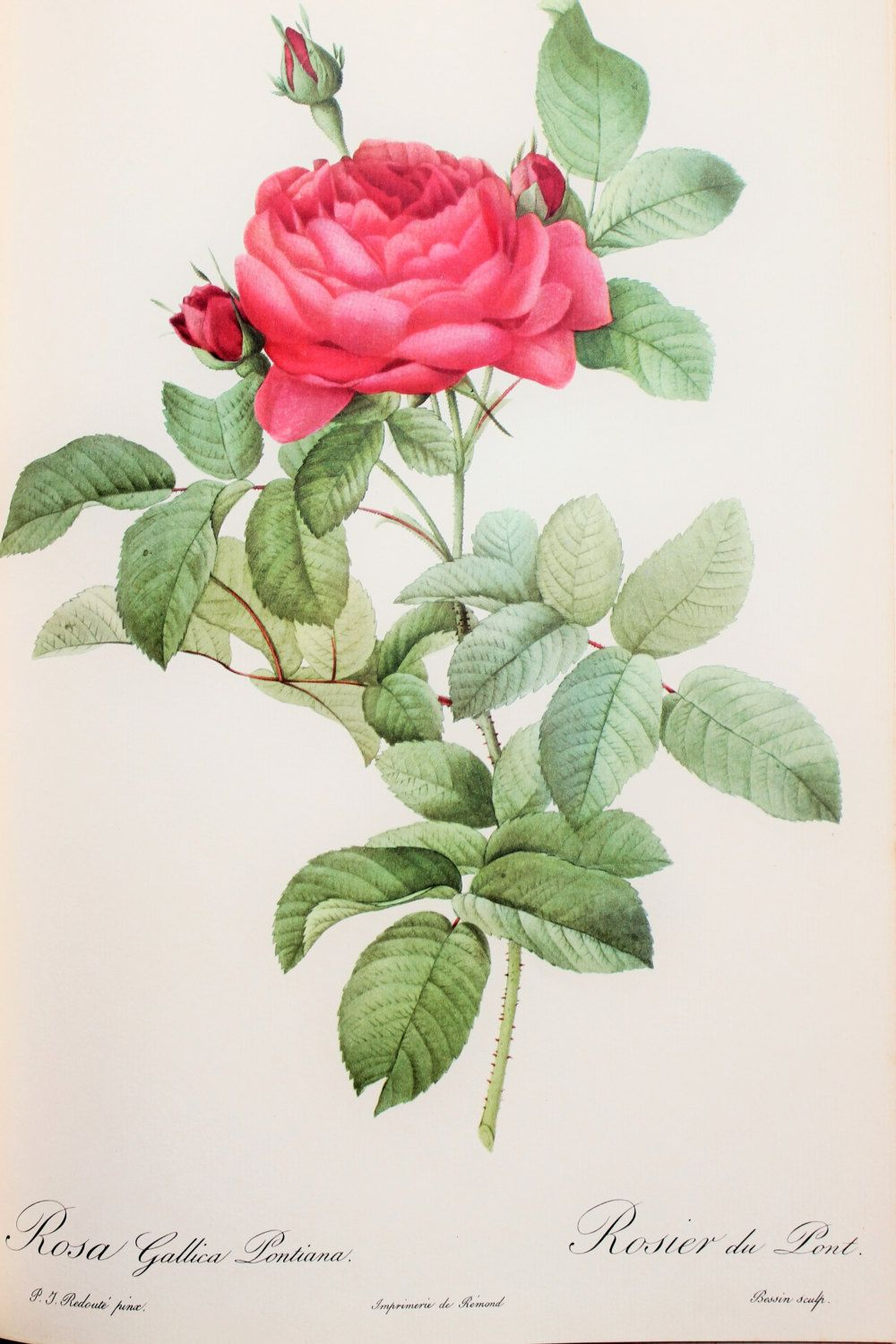 Pierre redoute vintage 1950s botanical rose print by for Botanic fleurs artificielles