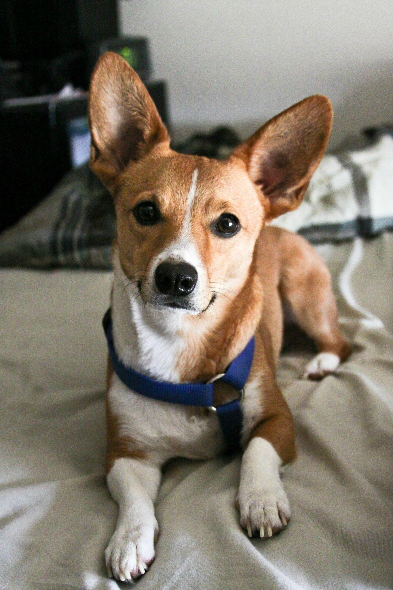 Half Corgi Half Jack Russell Terrier Jack Russell Pitbull Terrier Jack Russell Terrier