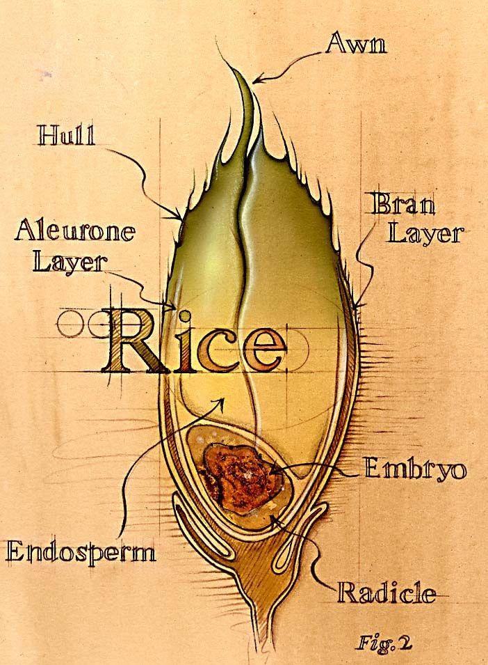 Bonnie Hofkin Technical Drawing Rice Medical Drawings Medical Illustration Botanical Illustration