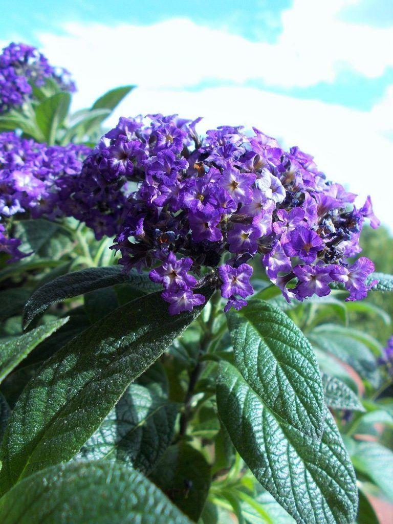 Heliotrop Peruwianski Zwany Wonnym Ze Wzgledu Na Jego Piekny Egzotyczny Zapach To Roslina Najpiekniej Wygladaja Planting Flowers Purple Flowering Plants Plants