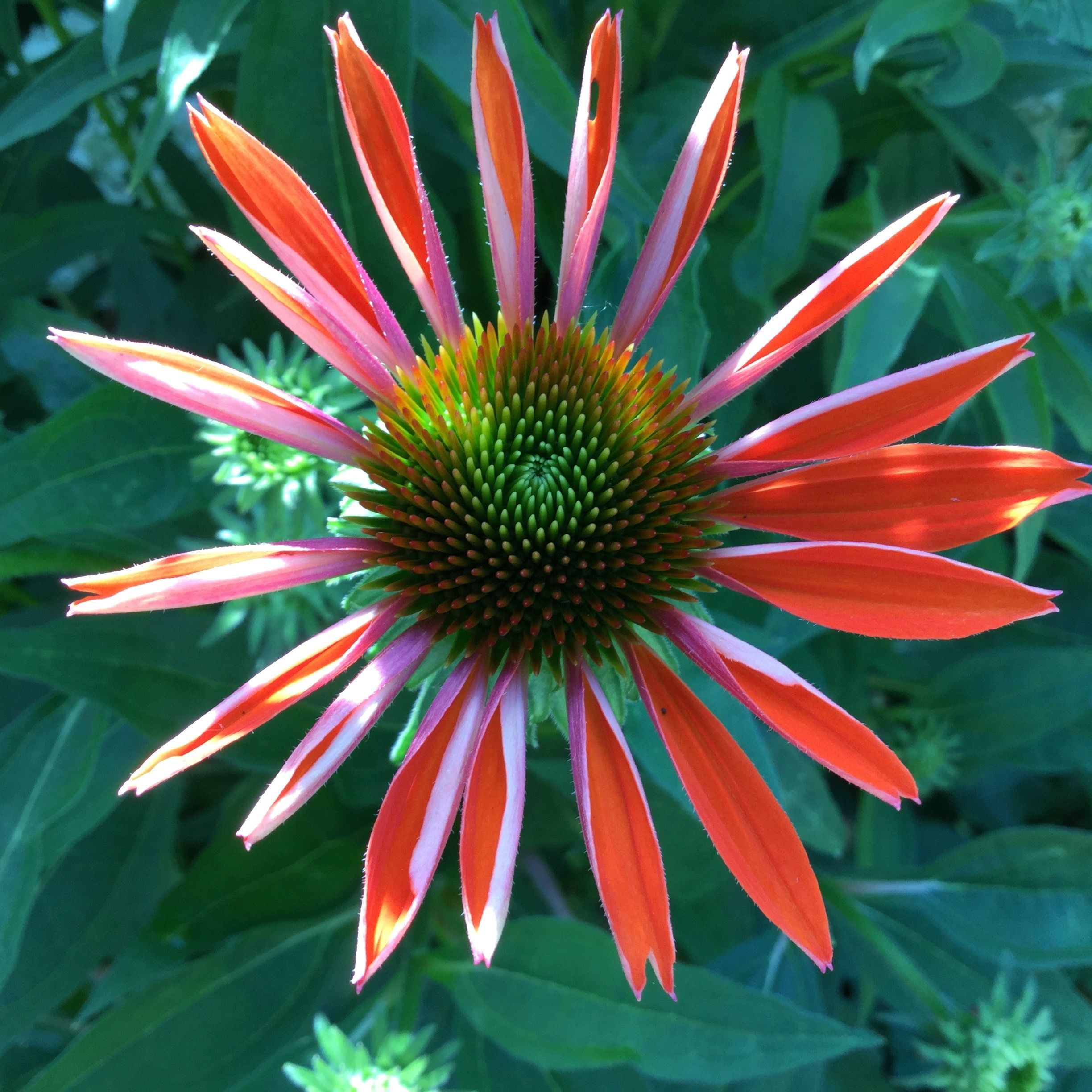 """""""The Cone Flower""""    Echinacea, also known as a cone flower is a beautiful perennial that resembles a daisy. It blooms from early to late summer, and being that summer has just begun, so has the growth of these flowers in our artist gardens. Echinacea can be grown for two reasons. First for their beauty as these flowers can grown to be up to 4 feet tall. Second, it can becultivated and used as a holistic form of medicine. Here at the artist's gardens, we grow th..."""