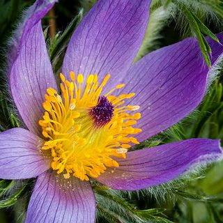 pasque flower south dakota state flower