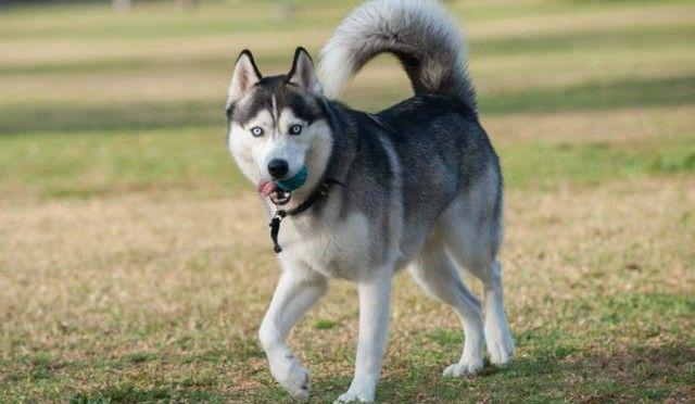 تفسير رؤية الكلب في المنام او الحلم ابن سيرين الحلم بالكلب الحلم بكلب اليف الكلب Animals Dogs Husky