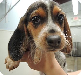 Pin By Jo Wiest On Rescue Dogs Bluetick Coonhound Beagle Puppies
