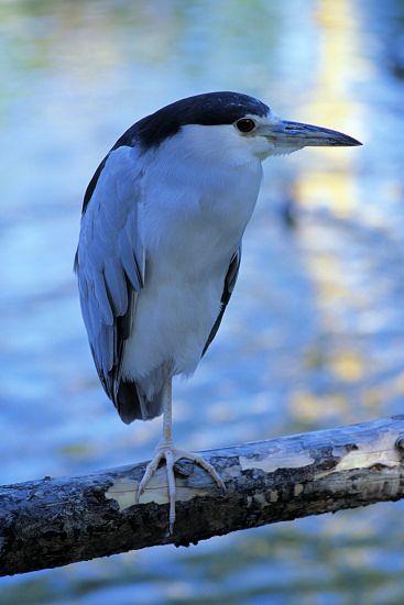 black crown night heron