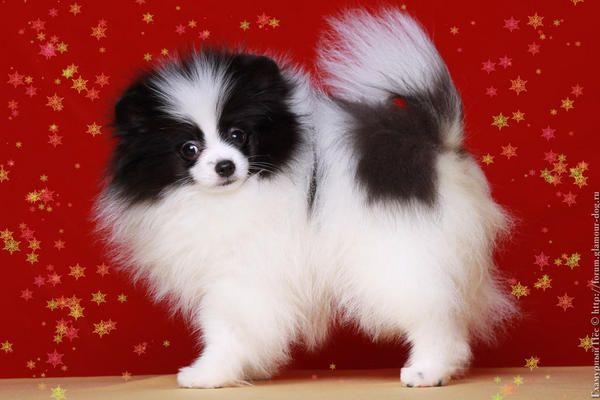 Pom Puppy Pom Dog Papillon Dog Papillon Dog Puppy