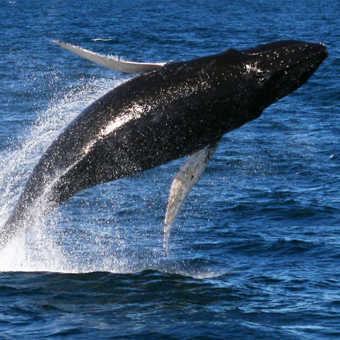 Why whale watching isn't a harmless alternative to whaling