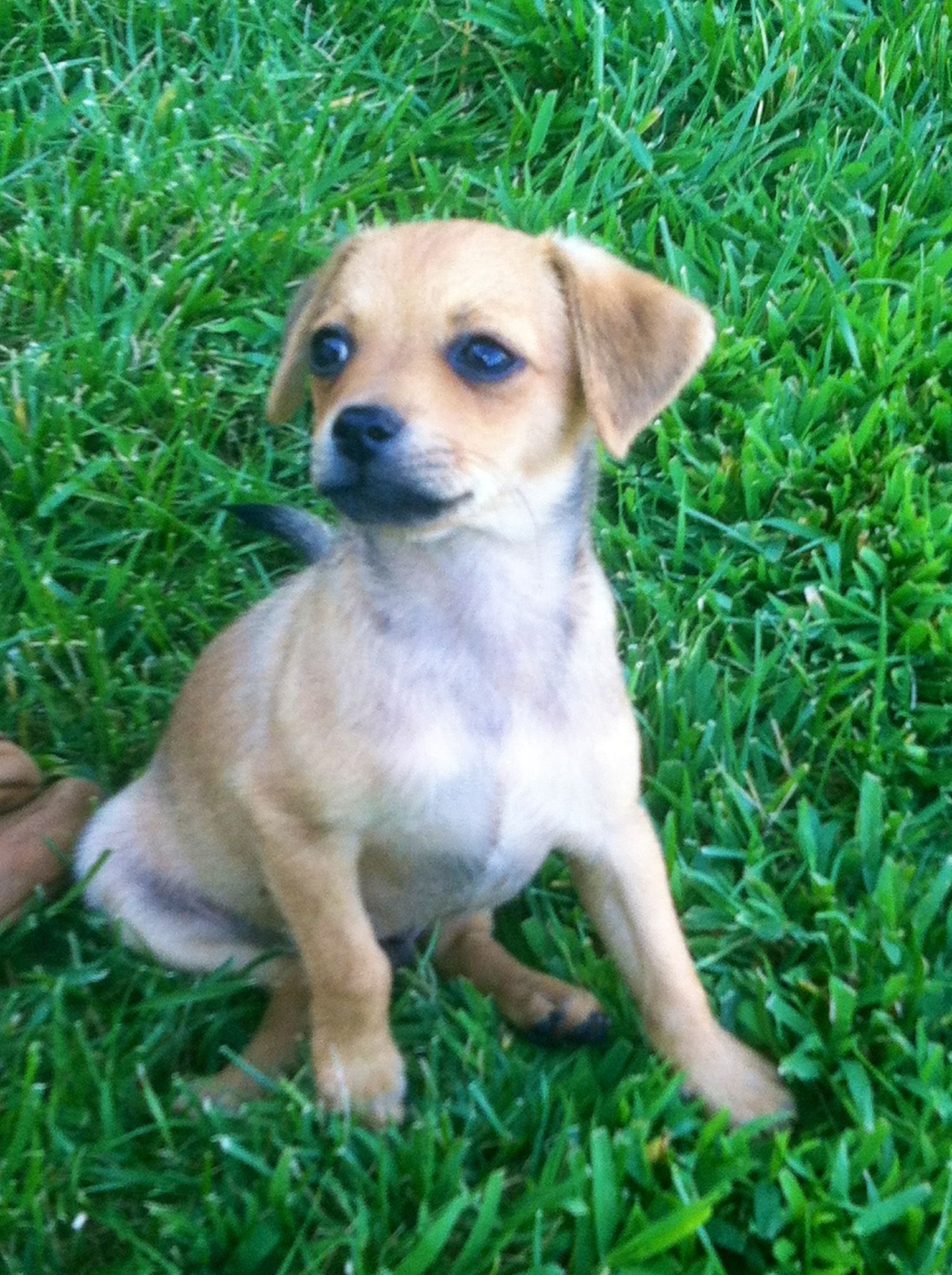 Meet Brownie Location Orange County Ca Min Pin Chihuahua Mix