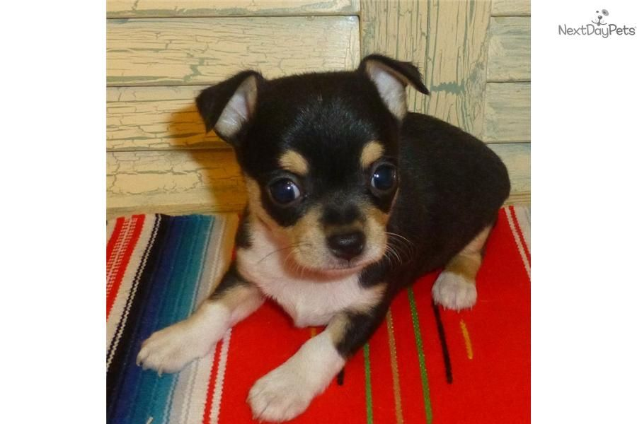 Look At This Cute Chihuahua Puppy For Sale For 600 Chihuahua