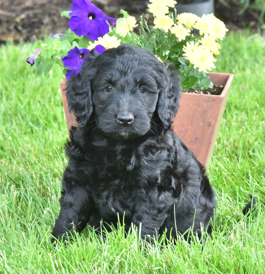 Pretty Goldendoodle Lancaster Puppies Puppies For Sale