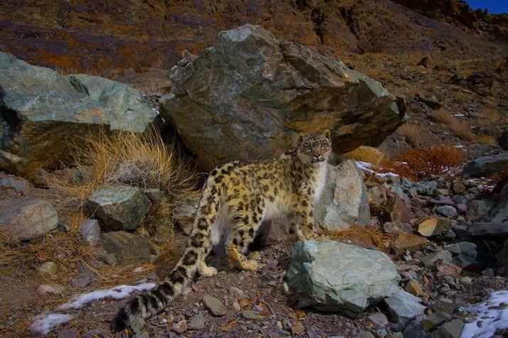 Snow leopard in India's Hemis National Park Photo de Morad Algérino dans Google+