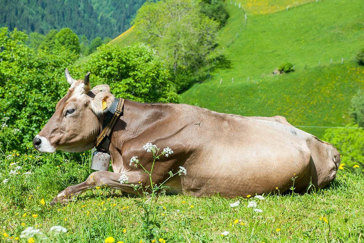 Schweizer Braunvieh Animals, Cow, Cattle