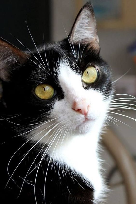 Pin By Laura O Quinn On Cute Stuff In 2020 Pretty Cats Cute Cats And Kittens Cats And Kittens