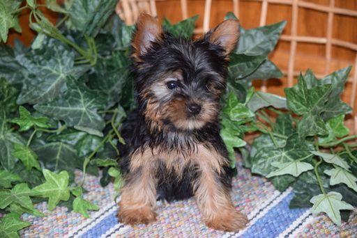 Yorkshire Terrier Puppy For Sale In Fredericksburg Oh Adn 64827 On Puppyfinder Com Gender Male A Yorkshire Terrier Puppies Yorkie Terrier Yorkshire Terrier