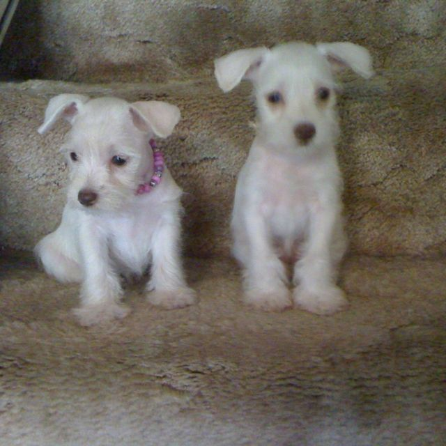 White Chocolate Toy Schnauzer Puppies