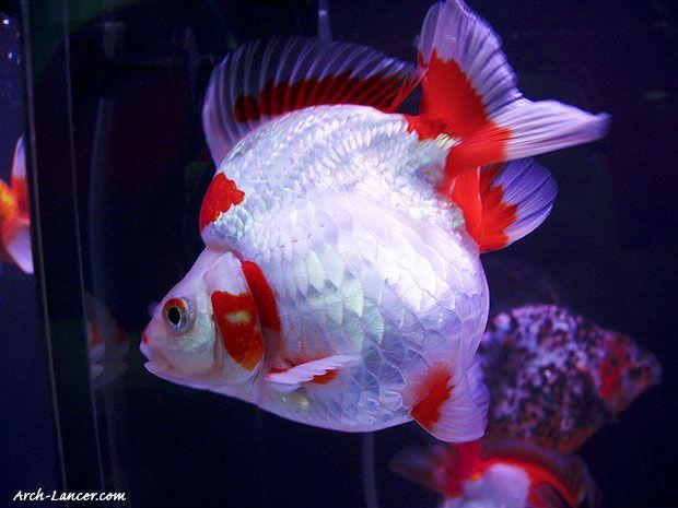 Koi carp goldfish koi ponds koi carp fish koi carp e koi for Carpa pesce rosso