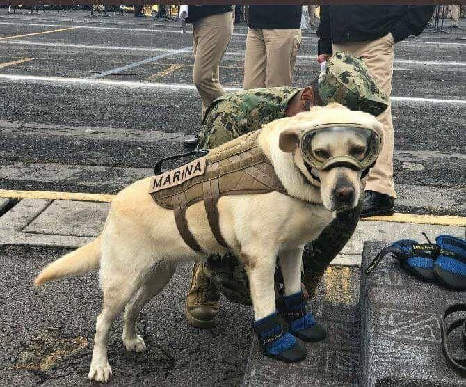 This is Frida she's one of the mexican rescue dogs who is helping find people trapped in the debris after yesterday's earthquake http://ift.tt/2wyXQk0