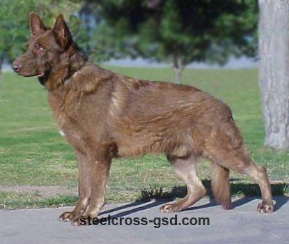 Steel Cross German Shepherd Dogs German Shepherd Dogs Blue German Shepherd Shepherd Dog