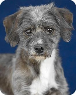 Pictures Of Sherman A Dachshund Miniature Poodle Mix For Adoption