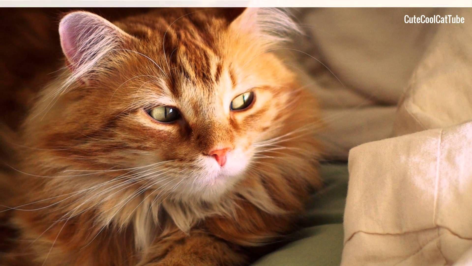 ⱷᴥⱷ Cymric Cat Personality and Breed Traits