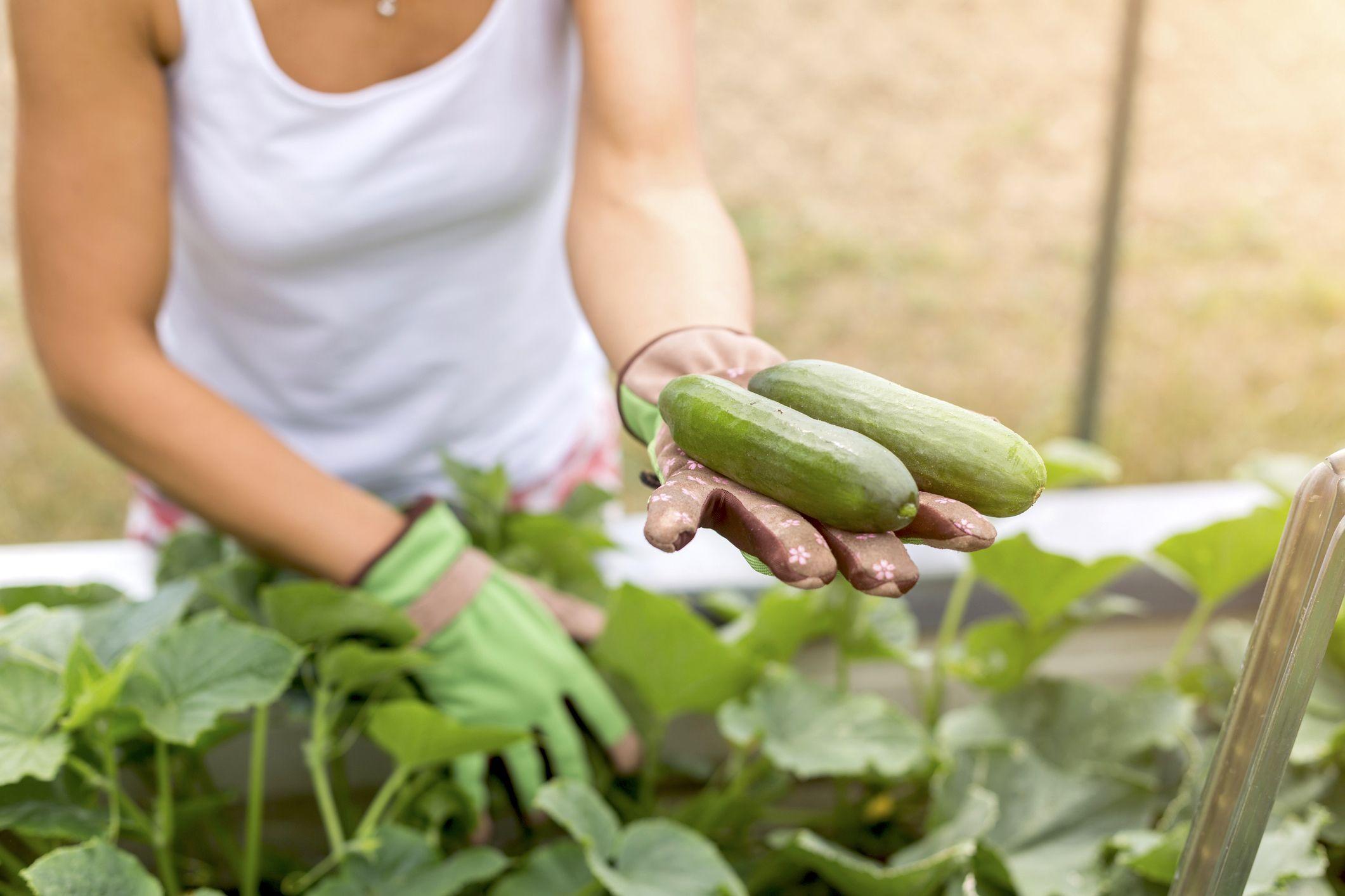 Photo of Gurken anbauen: Die besten Tipps für eine gute Ernte – myHOMEBOOK