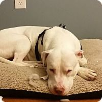 Adopt A Pet :: Prince - bridgeport, CT