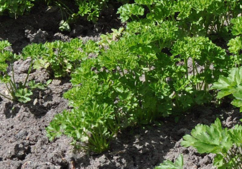 kr uter f r halbschattige und schattige standorte plants and garden pinterest kr uter. Black Bedroom Furniture Sets. Home Design Ideas