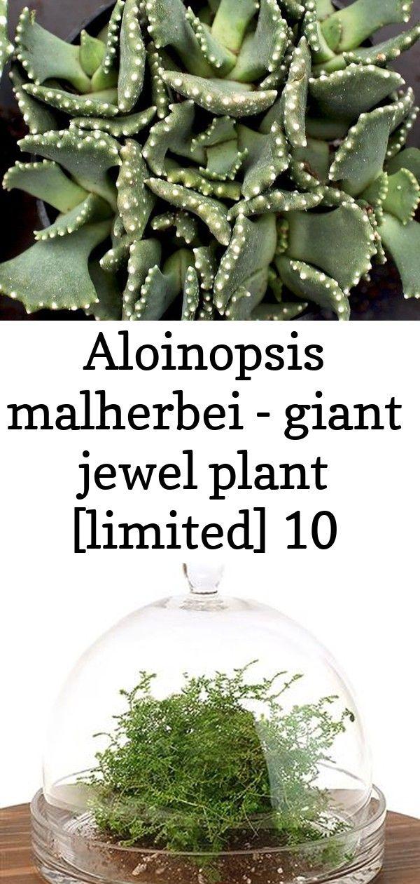 Aloinopsis malherbei - giant jewel plant [limited] 10 Aloinopsis malherbei - Giant Jewel Plant  Have a great day! ?
