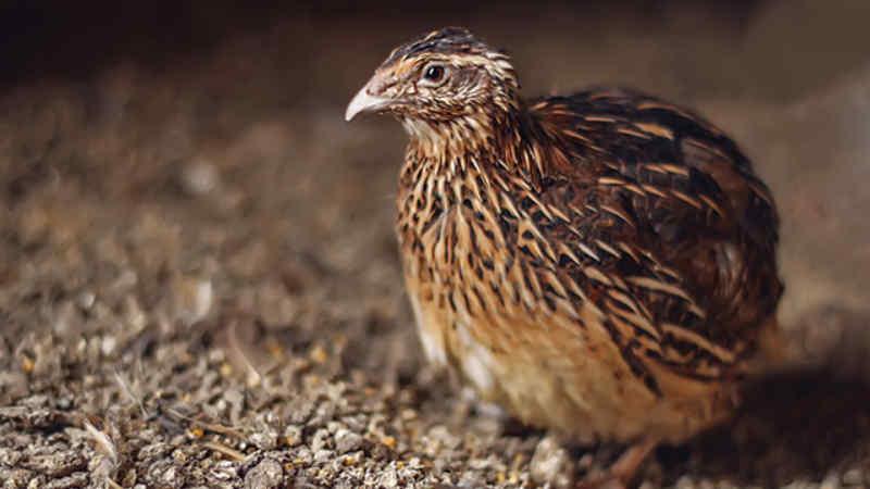 Pakan Burung Puyuh Ternak Agar Gemuk Dan Rajin Bertelur Burung Puyuh Burung Peternakan