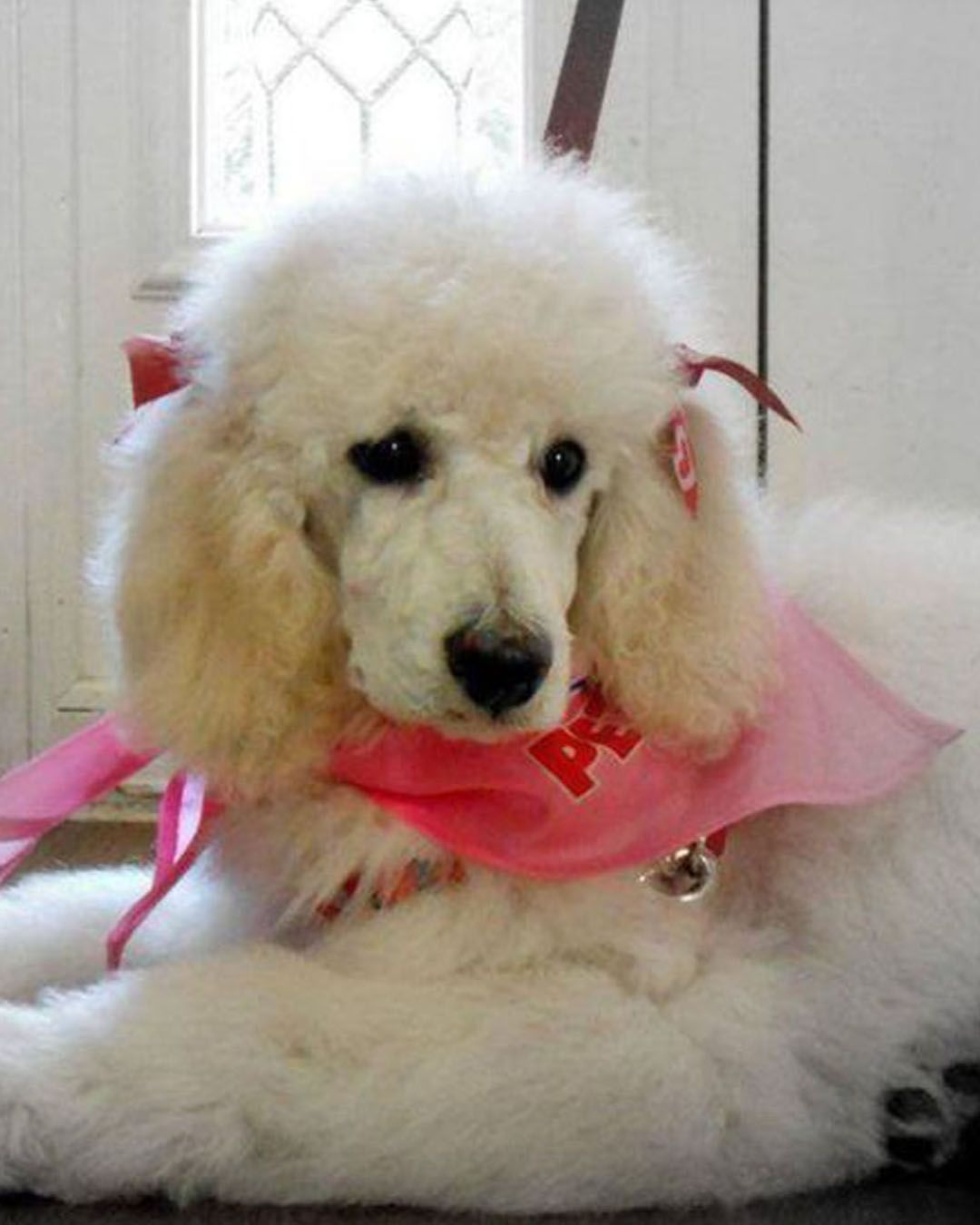 We Adore The Shape Of This Dogi Face Poodle Puppy Standard Poodle Puppy Poodle