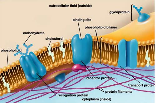 Cell Membrane Labeled Bing Images Cell Membrane Structure Cell Membrane Membrane Structure